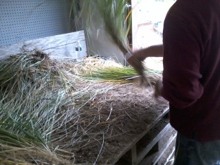 Processing harvested Beach Grass