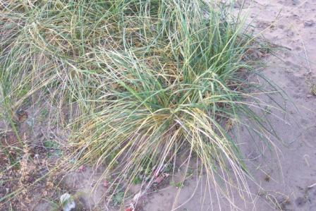 Beach grass clump